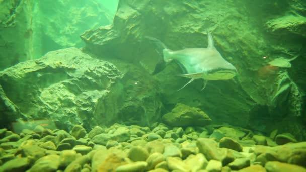 Pesce gatto gigante del mekong giovane acquario a for Pesce gatto acquario