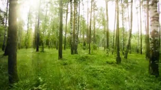 Pěší turistika přes stojan z borovice a břízy