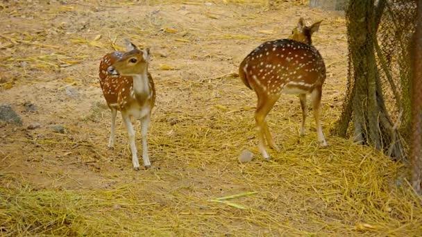 Dvojice jelen Axis v Chiang Mai Zoo v Thajsku