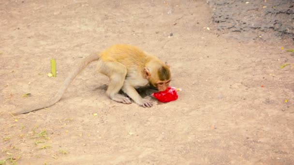 Young Monkey Bites Into Plastic Bag to Drink
