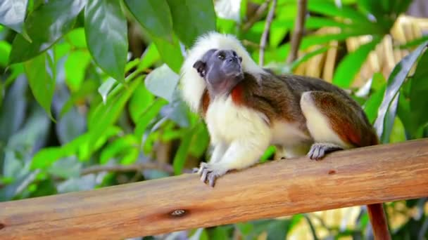 Adult Cotton Top Tamarin Monkey