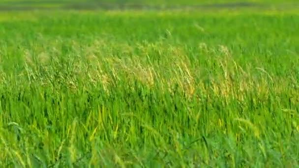 Zemědělská oblast osázená Lowlandovou rýží