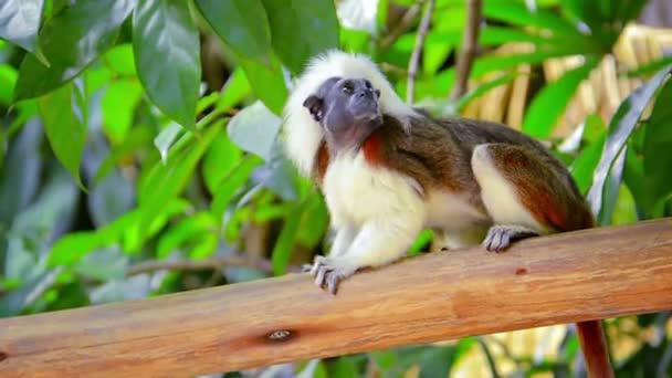 Adult Cotton Top Tamarin Monkey