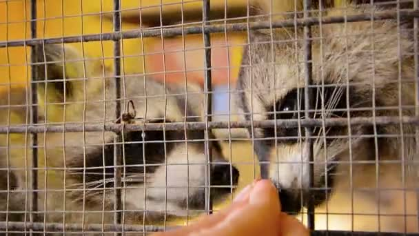 Very Cute Raccoons being Hand Fed in a Cage
