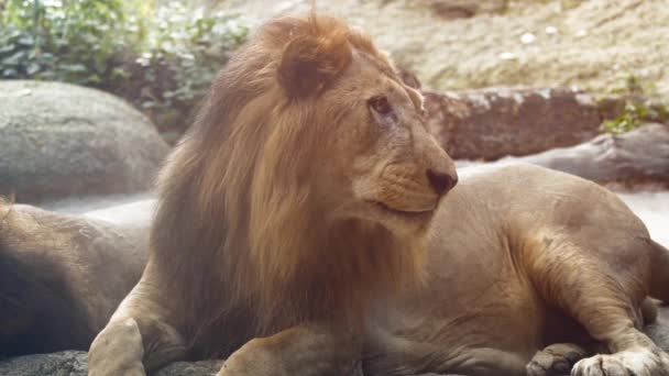 Big. Male Lion. Resting at the Zoo