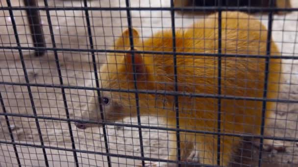 Unusual Raccoon with Blond Hair in a Cage