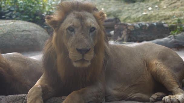 Muž africký lev. Odpočívá v Zoo