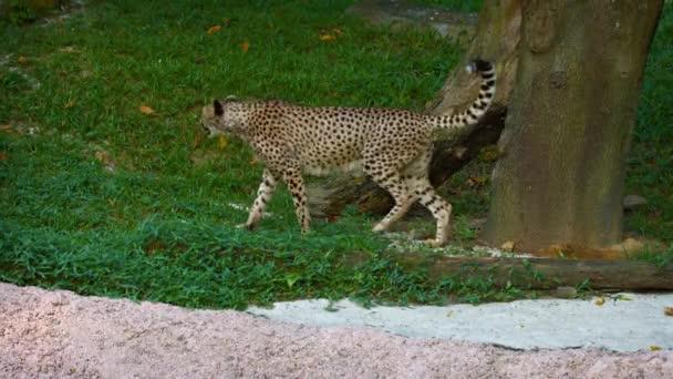 Osamělý. Mužské gepard označí jeho území
