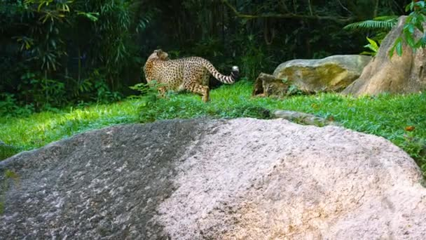 Osamělý gepard procházky po trávě