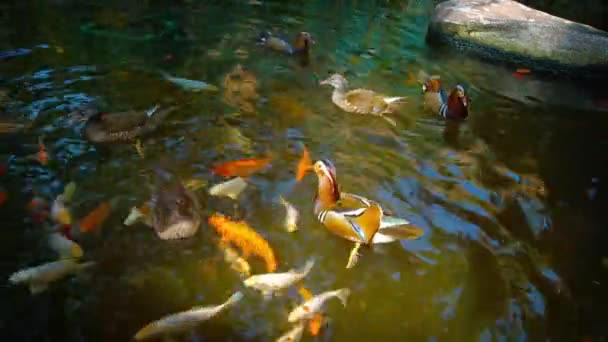 Mandarin Ducks and Japanese Koi Competing for Hand Thrown Treats