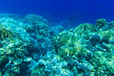 Underwater panorama with coral