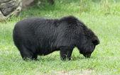 Fotografie černý medvěd v zoo