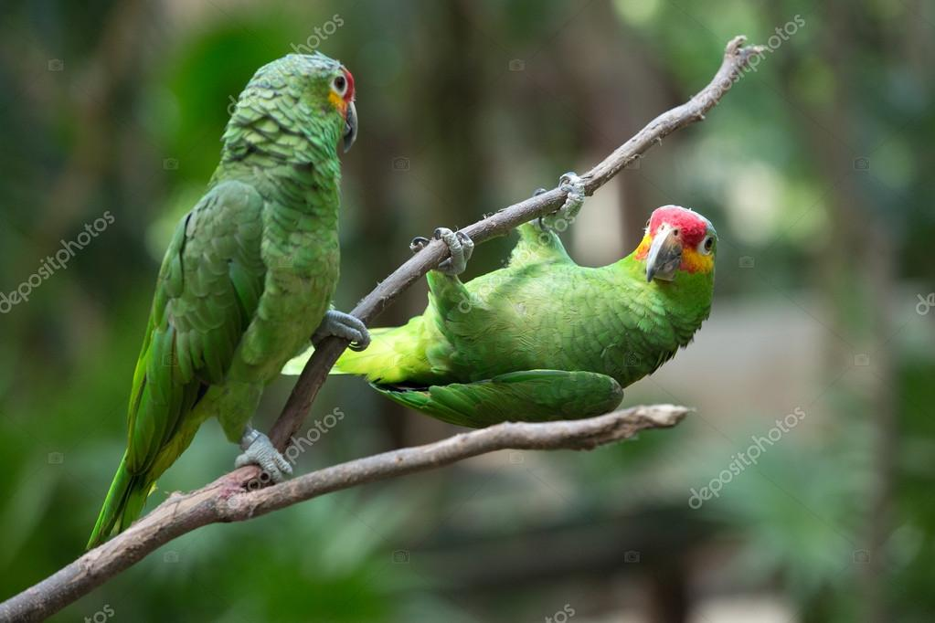 Macaws parrots animals