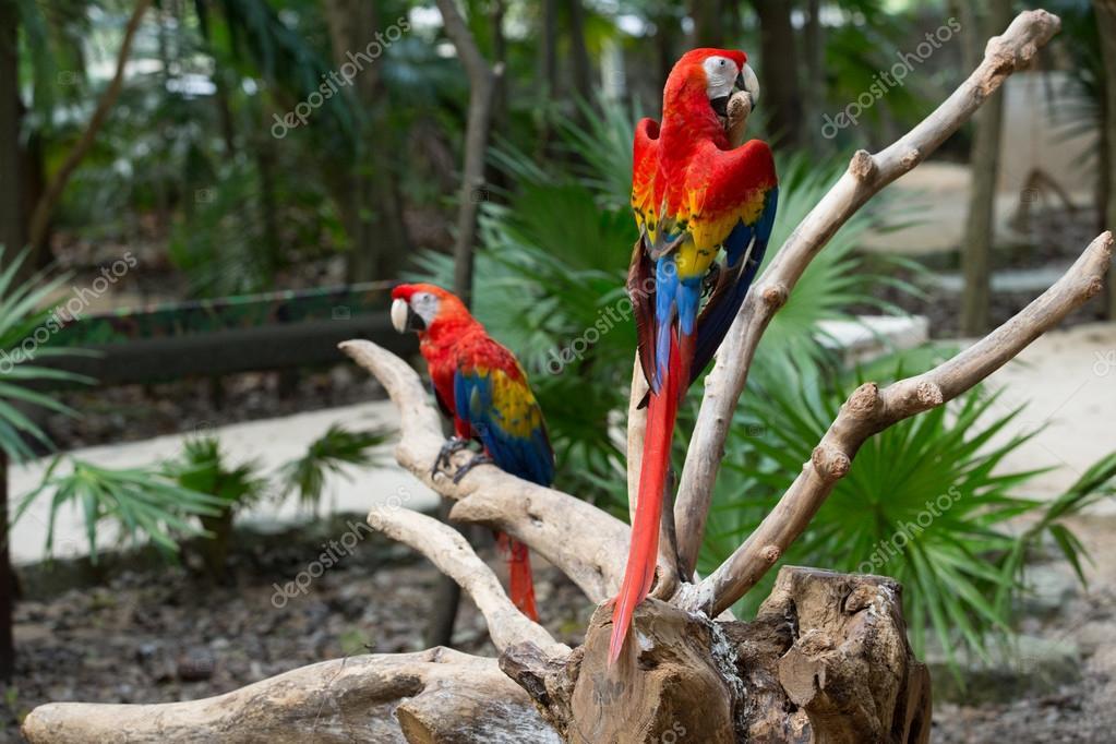 Colorful Macaws parrots