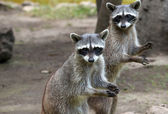 Photo Raccoon animals  on nature