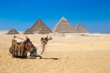 camel and Giza in Cairo, Egypt.