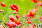 Fotografie Field of poppies flowers