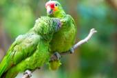 Fotografia uccelli pappagalli carina