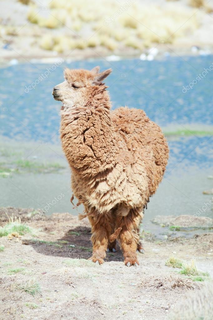 cute lama in Andes