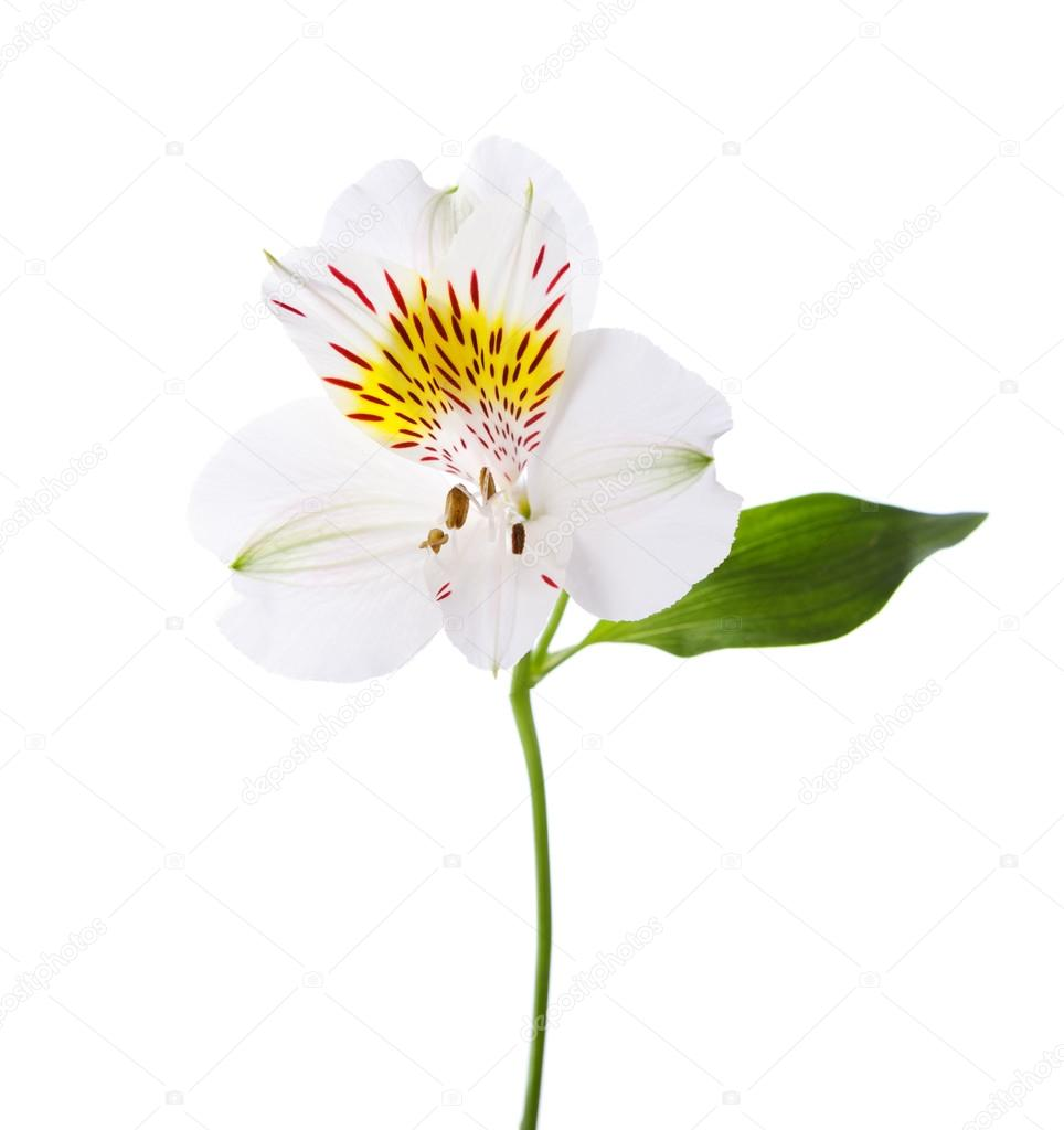 White alstroemeria flower stock photo antonel 68060359 white alstroemeria flower stock photo mightylinksfo Gallery