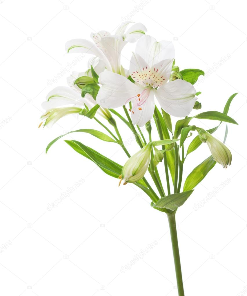 White alstroemeria flower stock photo antonel 71060173 white alstroemeria flower stock photo mightylinksfo