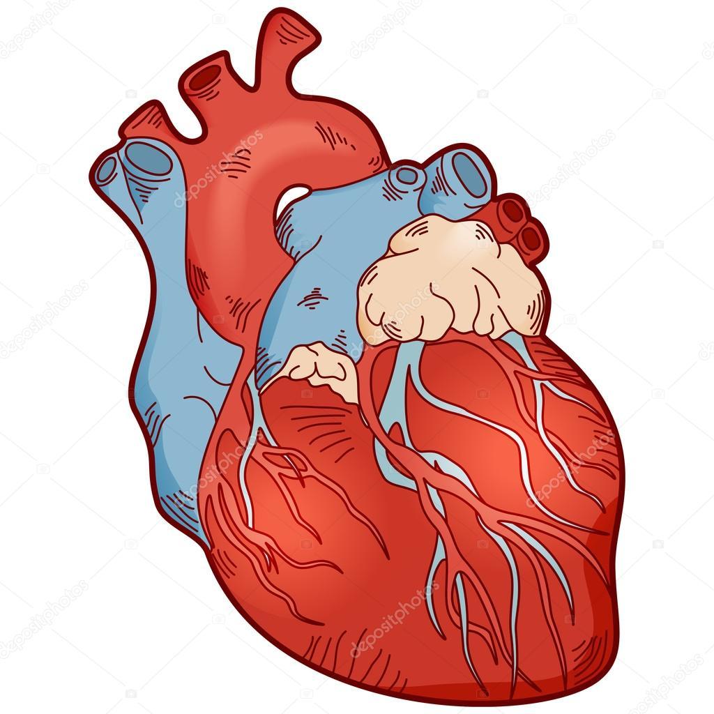Menschliches Herz Anatomie — Stockvektor © LukAlex #107754452