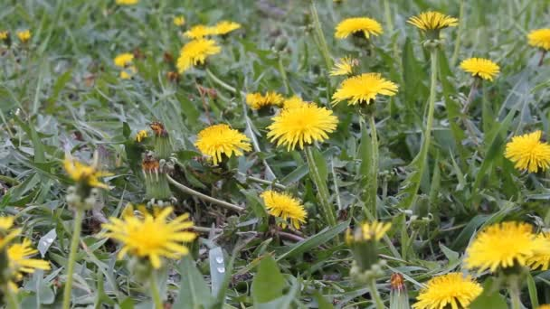 yellow dandelions on spring meadow
