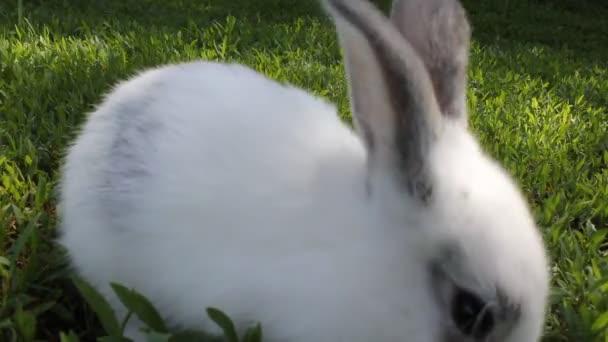 coniglio bianco sullerba verde