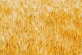 zlaté pšeničné pole