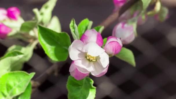 Apple květina, kvetoucí. Časová prodleva