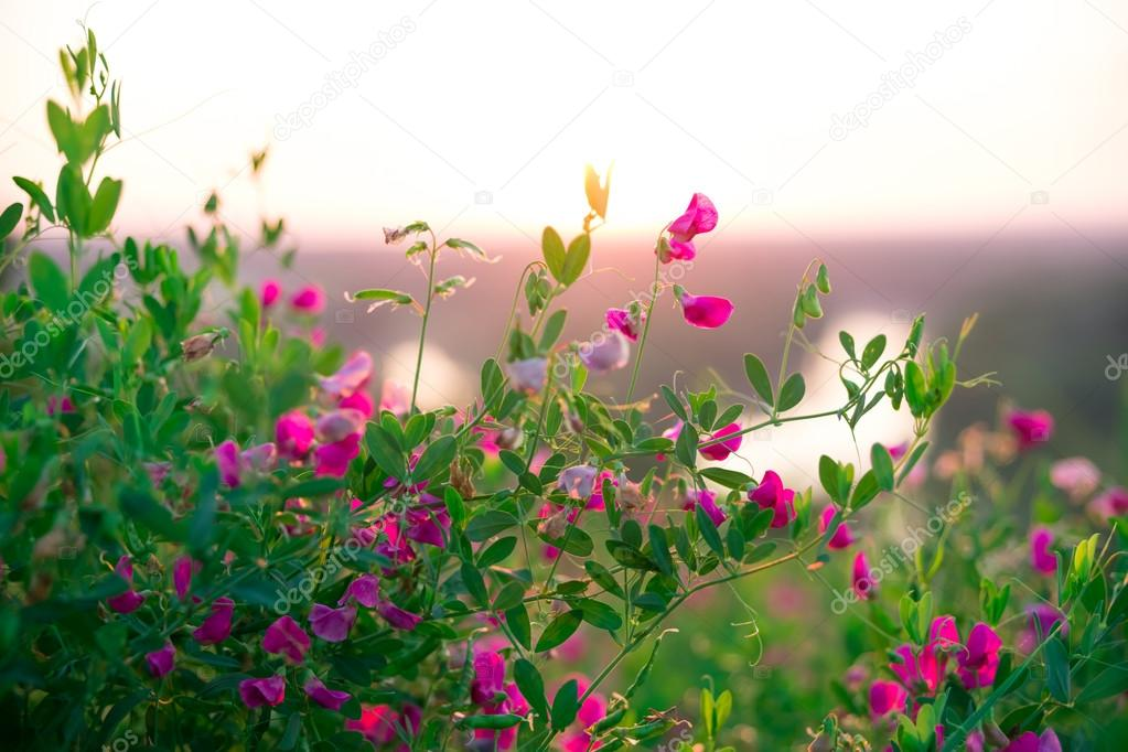 Полевые цветы на рассвете 64