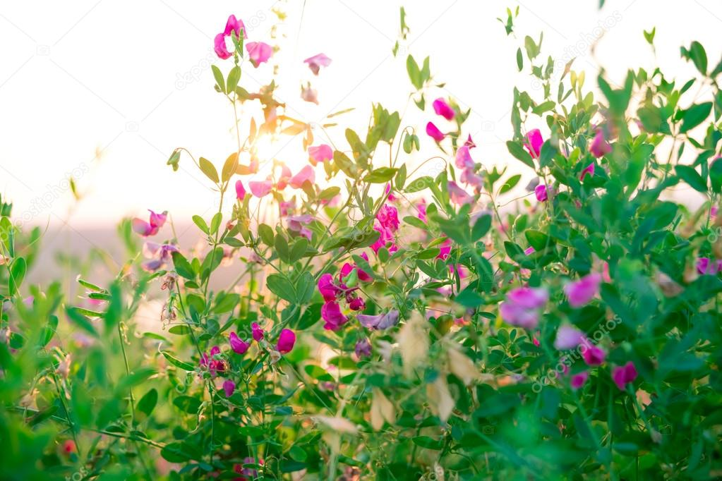 Wild herbs and pink wildflowers