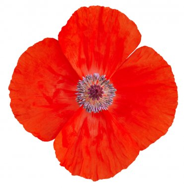 Red poppy flower.
