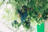 Fotografie Bunches of red wine grapes