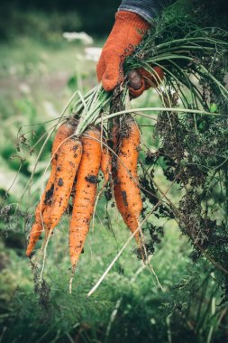 Female hand with carrots