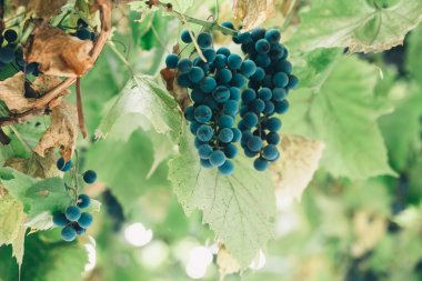 Bunches of red wine grapes