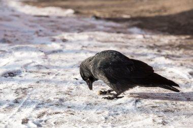 Black Common raven