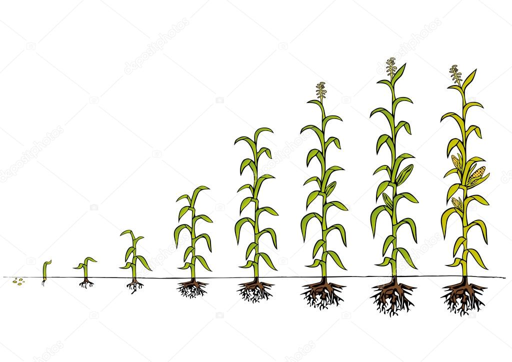 Maize Development Diagram. Stages of growth