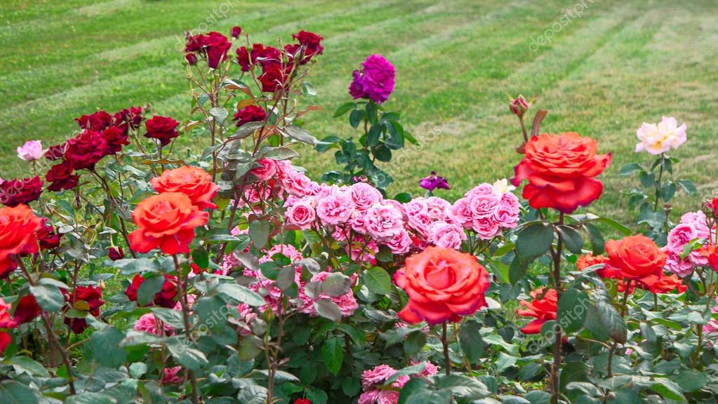 Rose nel giardino di rose e lo spazio della copia su erba u foto