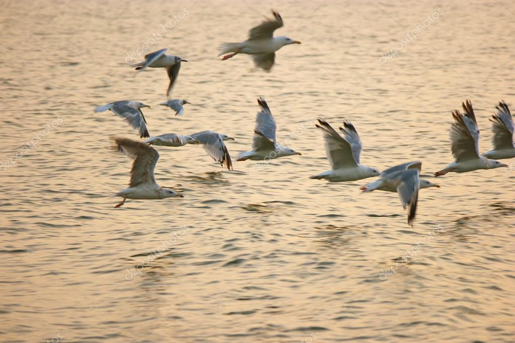 Flock of sea gulls fly away over sea surface in warm sunset light