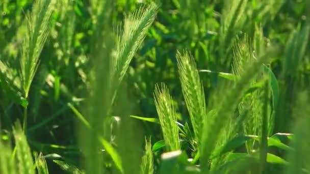 Makro z bodců divoké trávy