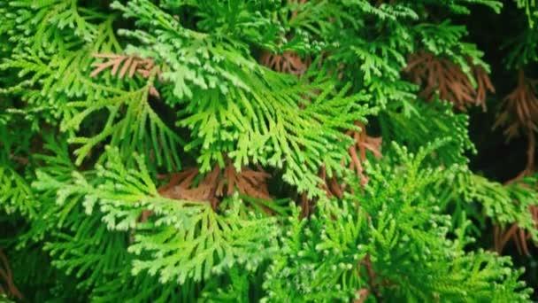 Fresh green fir twigs closeup