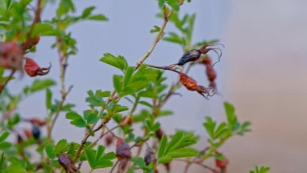 Barbaris pflanzen Beeren auf die Zweige