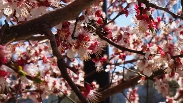 Bílé a růžové květy meruňky pokrývající na jaře větve