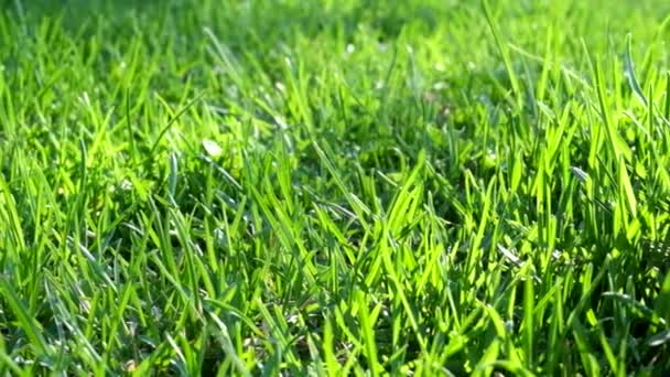 Grünes Gras hinterleuchtet
