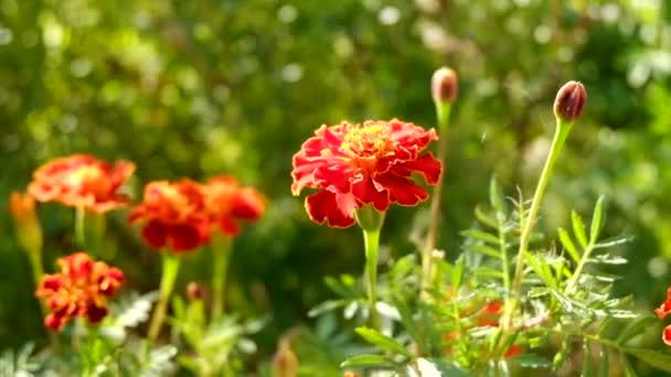 Marigold flowers in field