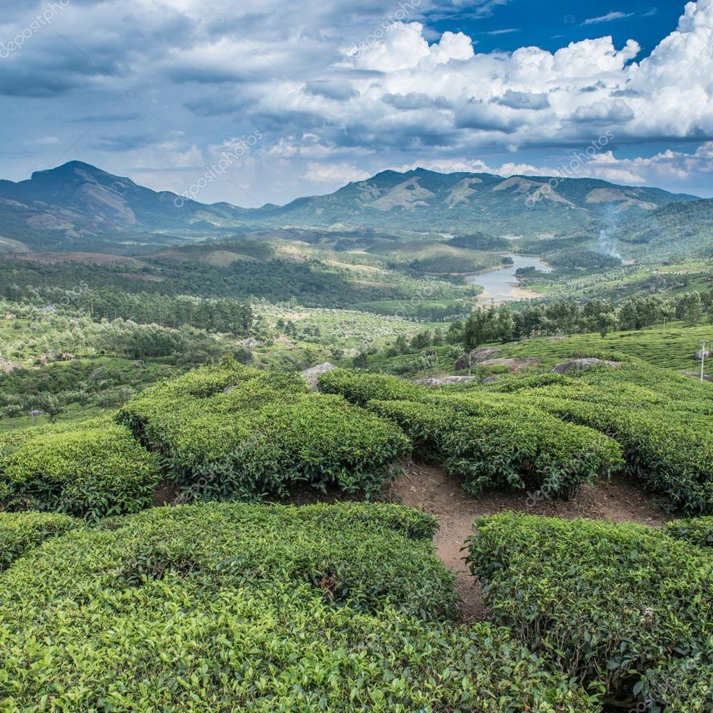 Indian Tea plantations