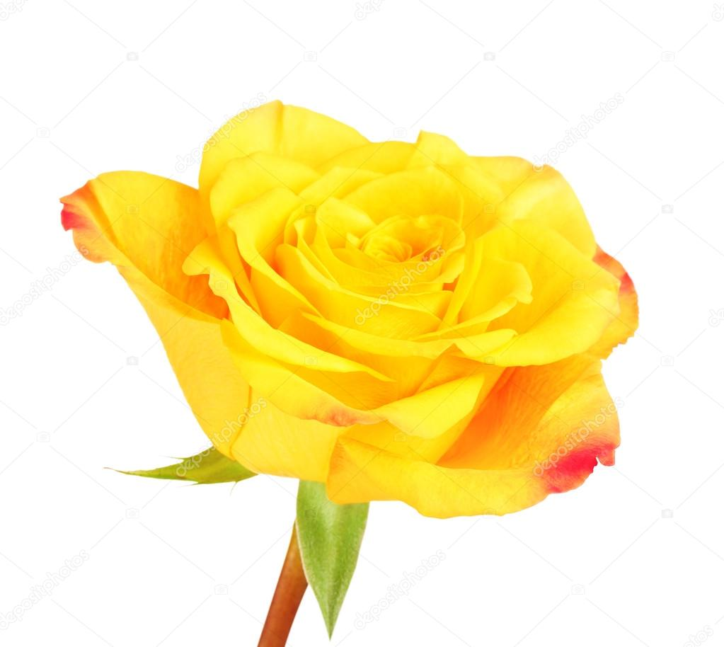 Yellow rose flower stock photo mrbrightside 90157154 single yellow rose flower isolated on white background photo by mrbrightside mightylinksfo