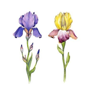 Watercolor iris flowers