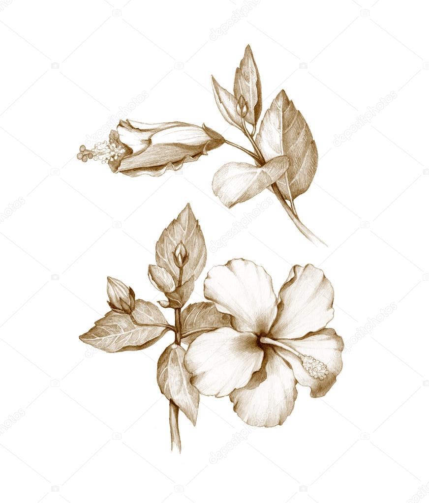 Pencil Drawing Of Hibiscus Flower Stock Photo Sashsmir 59829493